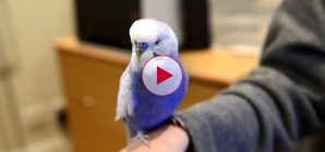 R2D2 Budgie This birds impression is amazing.