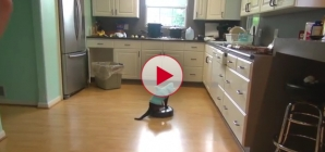This cat likes to clean the kitchen with his roomba vacuum.