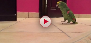 This bird laughs like a super villain. Very Funny!