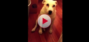 Totally Hilarious! Guilty Dog tries to hide from owner after being naughty.