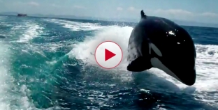 Wow Amazing footage of Killer Whales Chasing Speedboat.