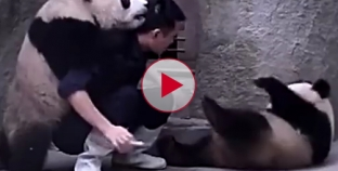 Playful Panda's won't take their medicine at the zoo. So cute and funny.
