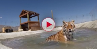 Watch these captive Tigers swim for the first time ever. Truly Amazing!