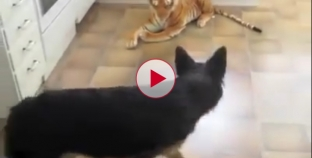 German Shepherd scared of Stuffed Tiger Toy. Hilariously Funny