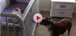 Bella the Boxer responds to New Baby crying, This is a very cute story.