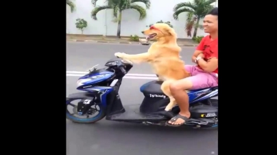 Hilarious video shows amazing dog drive a moped down busy street.